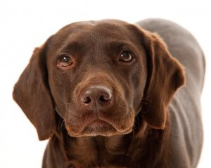 Pet portrait of chocolate brown Labrador dog by photographer Phill Andrew at The Image Mill