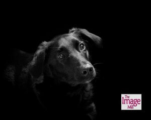 "Pet portrait of Labrador dog in the ""Noir"" style by photographer Phill Andrew at The Image Mill"