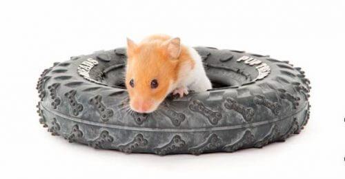 Hamster in tyre