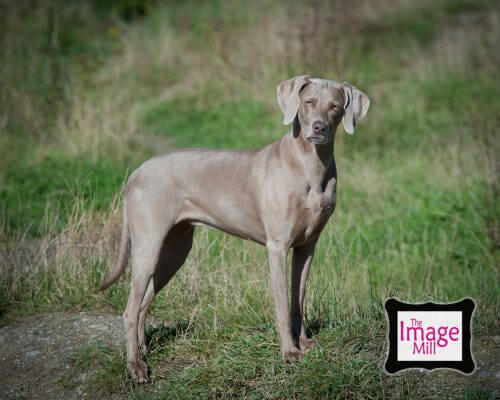 Pet portrait by dog photographer Phill Andrew at The Image Mill
