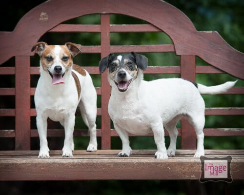 Jack Russell Terriers portrait by photographer Phill Andrew at The Image Mill