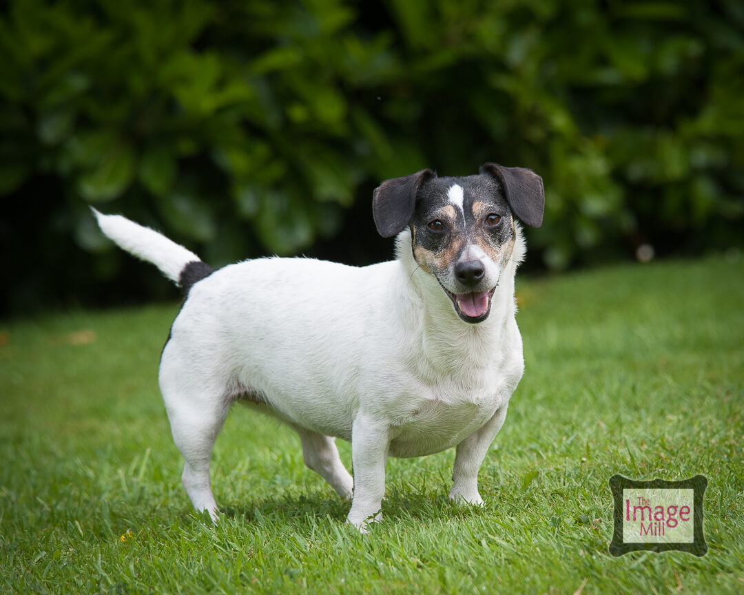 Jack Russell Terrier portrait by photographer Phill Andrew at The Image Mill