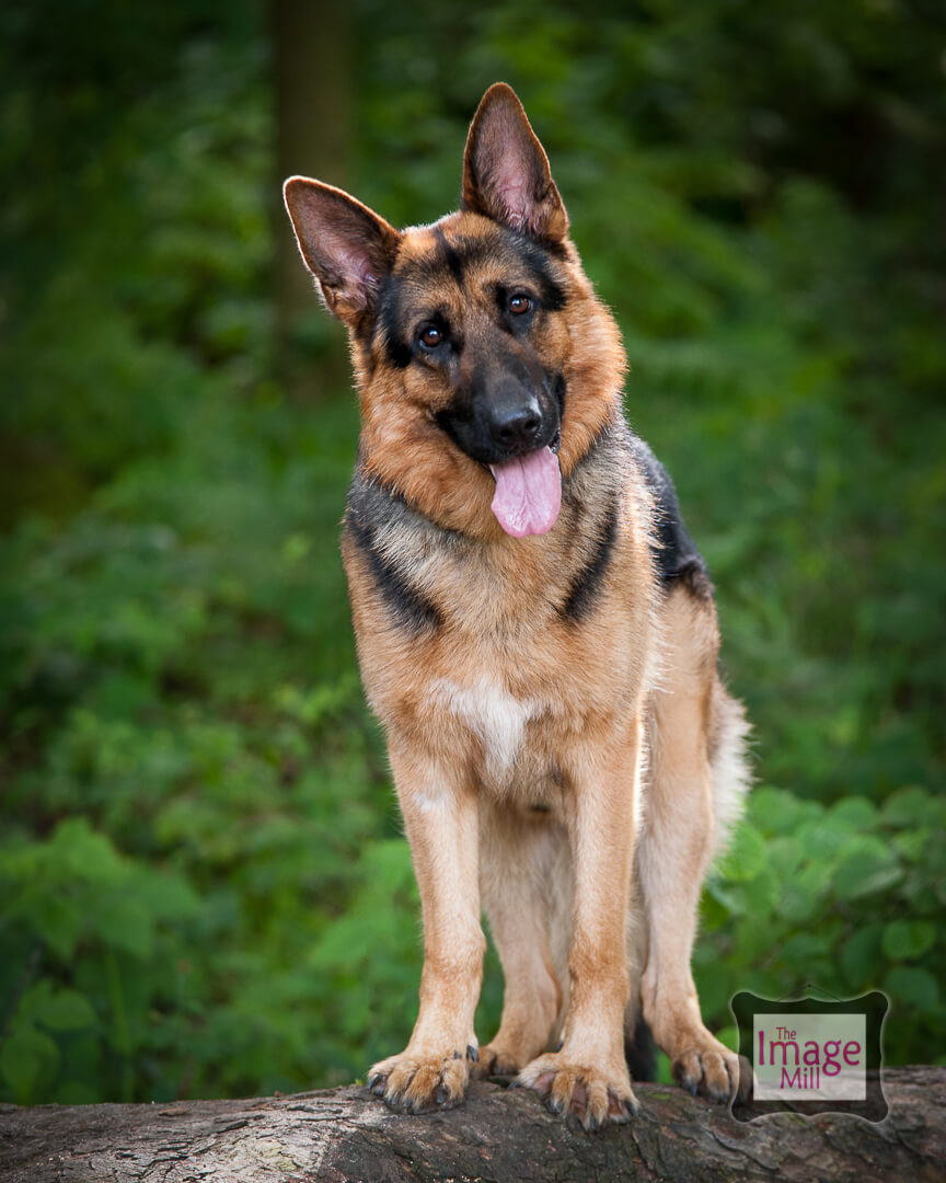 German Shepherd Dog, pet portrait by photographer Phill Andrew at The Image Mill, Bradford