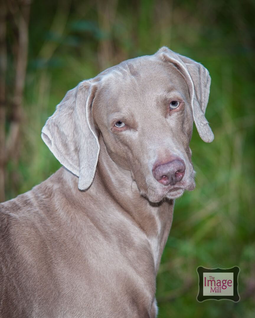Weimeraner dog portrait, at the Image Mill, by pet photographer Phill Andrew