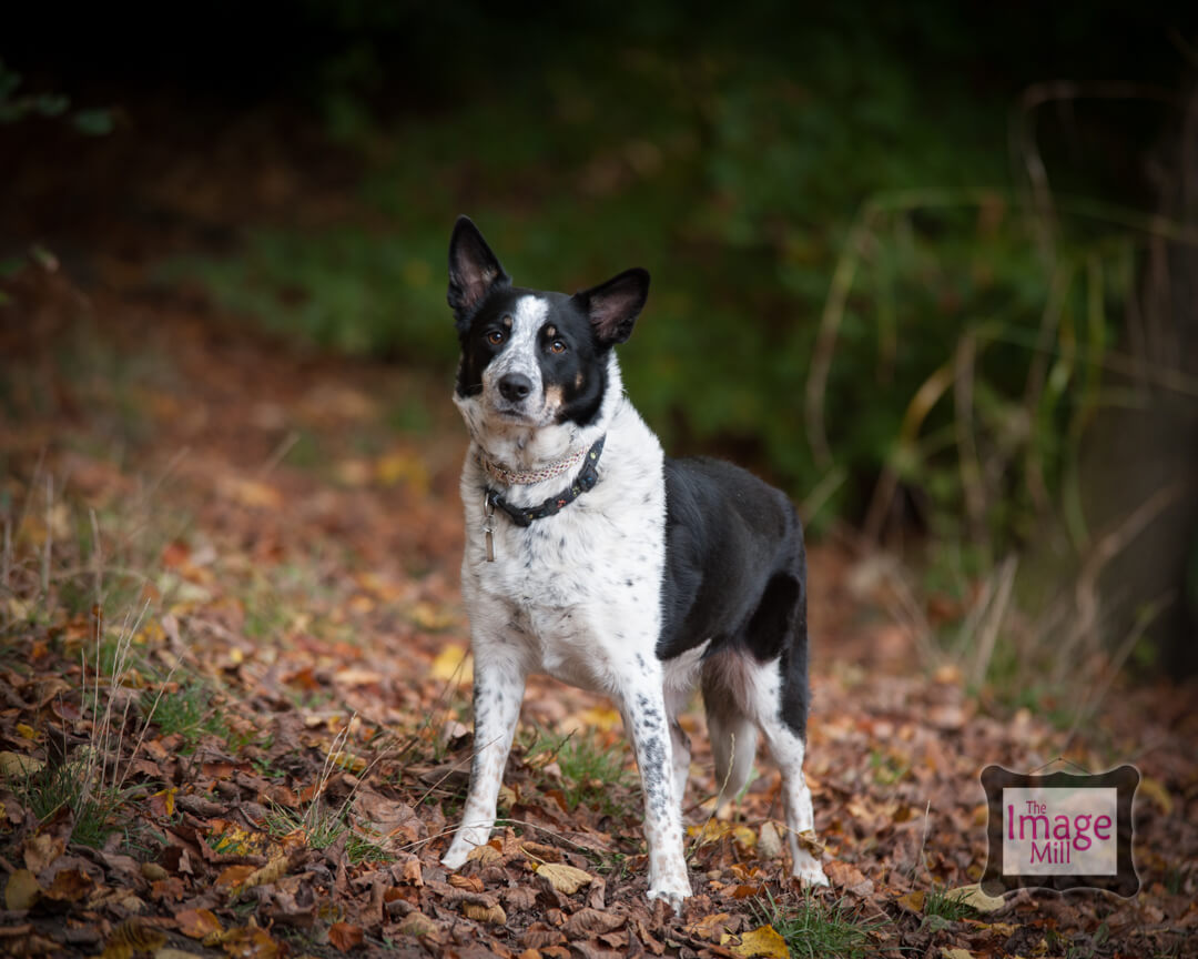 Border Collie dog portrait, at the Image Mill, by pet photographer Phill Andrew
