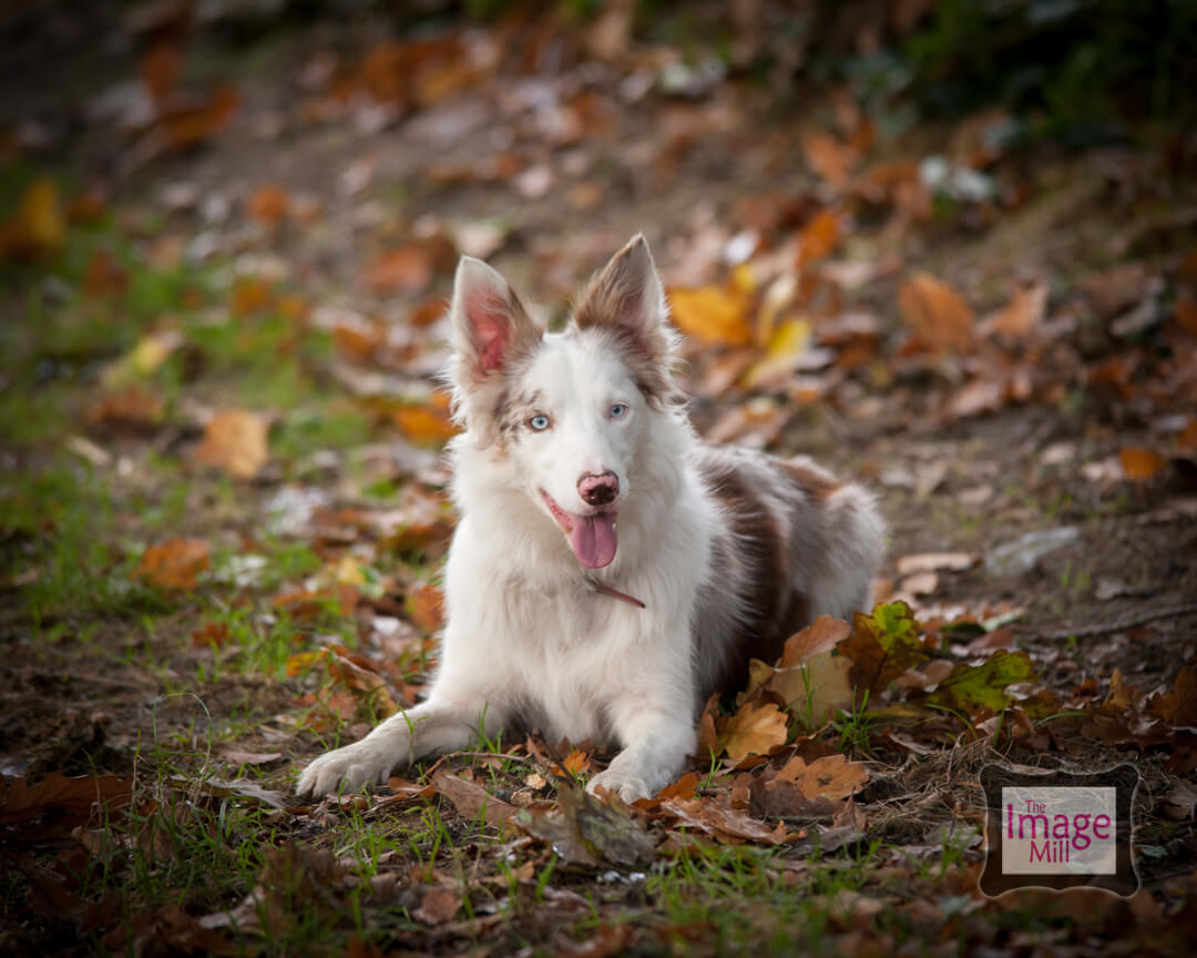 Brown and white Border Collie dog, portrait, at the Image Mill, by pet photographer Phill Andrew
