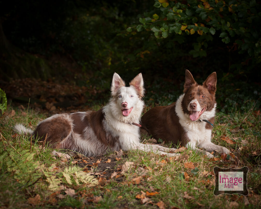 Two Brown and white Border Collie dogs, portrait, at the Image Mill, by pet photographer Phill Andrew