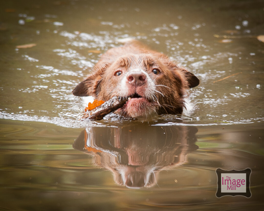 Brown and white Border Collie dog swimming, portrait, at the Image Mill, by pet photographer Phill Andrew