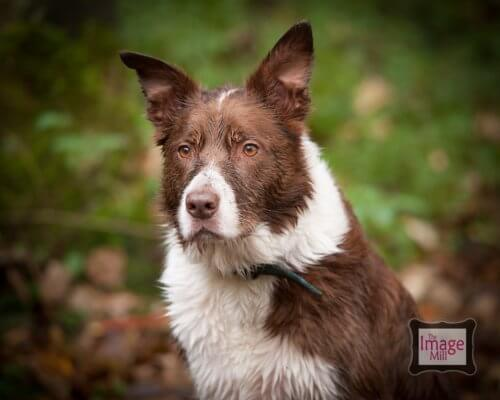Brown and white Border Collie dog portrait, at the Image Mill, by pet photographer Phill Andrew
