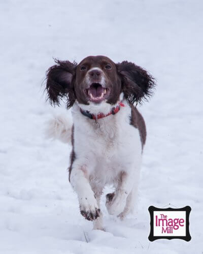 Springer Spaniel dog running in the snow, portrait, at the Image Mill, by pet photographer Phill Andrew