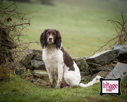 Springer Spaniel dog sitting by wall, portrait, at the Image Mill, by pet photographer Phill Andrew