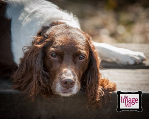 Springer Spaniel dog on a bench, portrait, at the Image Mill, by pet photographer Phill Andrew