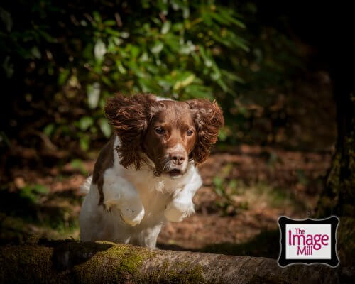 Springer Spaniel dog jumping a log, portrait, at the Image Mill, by pet photographer Phill Andrew