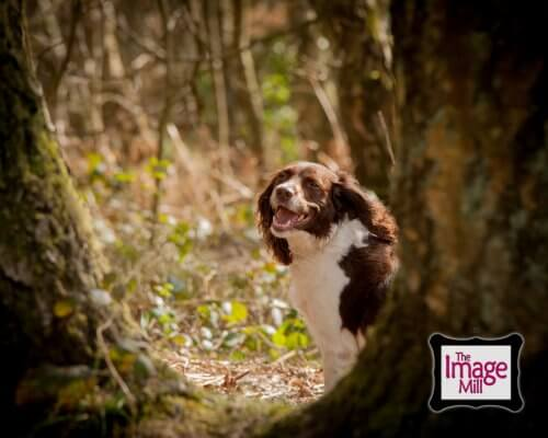 Springer Spaniel dog laughing in the woods, portrait, at the Image Mill, by pet photographer Phill Andrew