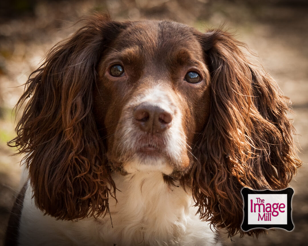 Attentive Springer Spaniel dog close up head, portrait, at the Image Mill, by pet photographer Phill Andrew